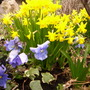 Narcissus 'Tete-a-Tete' with Pansy 'Light Blue'.