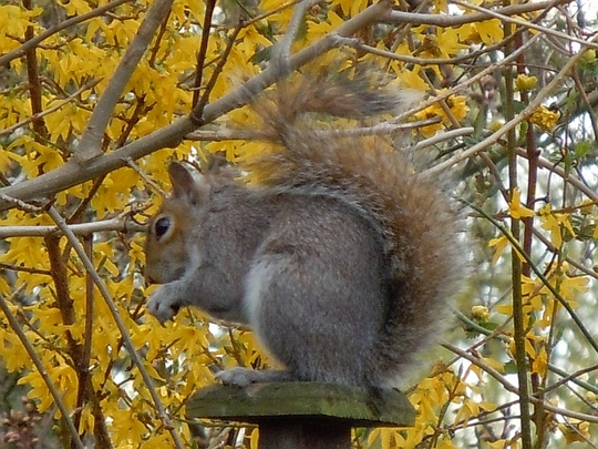 Twickenham Squirrel