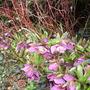 Heleborus orientalis