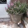 """Erica carnea """"pirbright rose"""""""