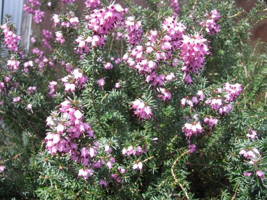 """Pink heath (Erica carnea """"pirbright rose"""")"""