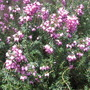 "Pink heath (Erica carnea ""pirbright rose"")"