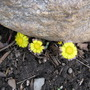 Coltsfoot by rock (Tussilago farfara (Ass Foot))