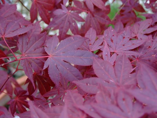 Acer (Acer palmatum (Japanese maple))