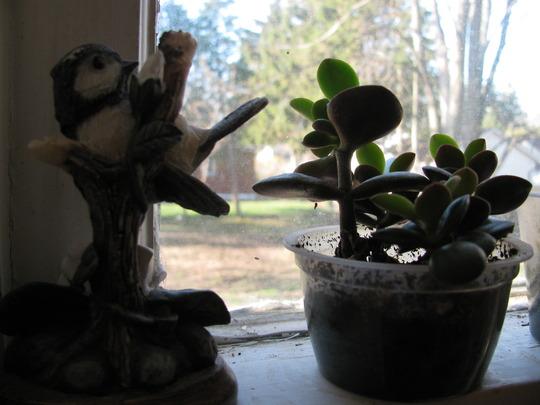 Windowsill jade  (Crassula ovata (Jade tree))