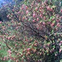 Ornamental redcurrant