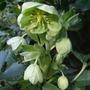 Helleborus_argutifolius