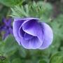 Purple_a._de_caen