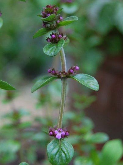 Thyme in June (Thymus pulegioides)