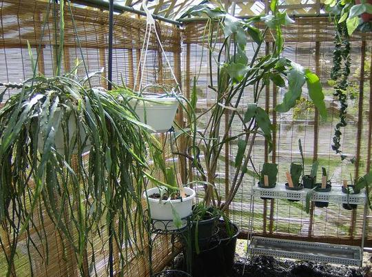Orchid cactus ( epiephyllum ) in the shade house