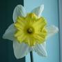 Scented daffodil