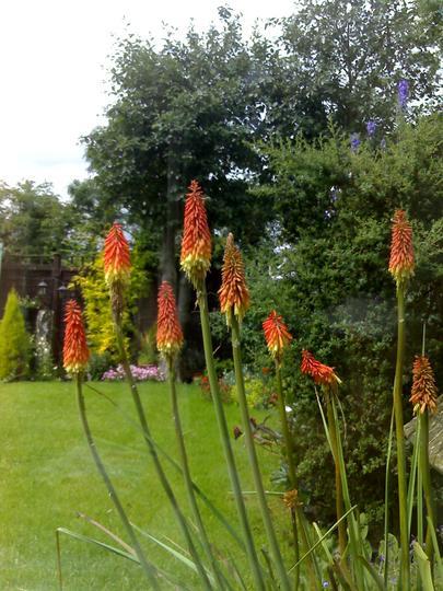 Back Garden (Kniphofia caulescens (Red hot poker))