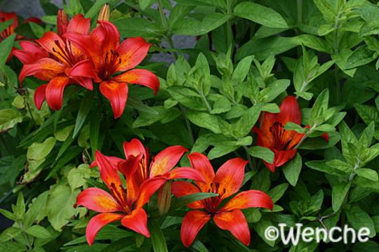 Lilium bulbiferum (Lilium bulbiferum (Fire Lily))
