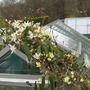 Clematis Armandii ramping all over my greenhouse whilst providing some shade..