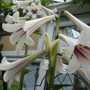 Cardiocrinum_lovely_lge_courtyard_rose_arch
