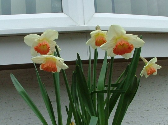 closer pic narcissus