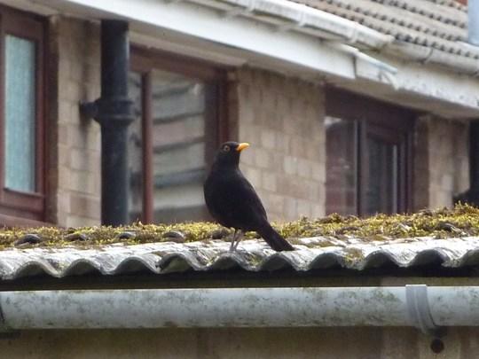 Mr Blackbird.....