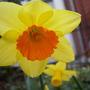Daffodil, April 2010