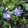 Vinca minor 'Caerula Plena' (Vinca minor (Lesser periwinkle))