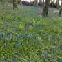 Last years bluebells~ this year they will be really late~