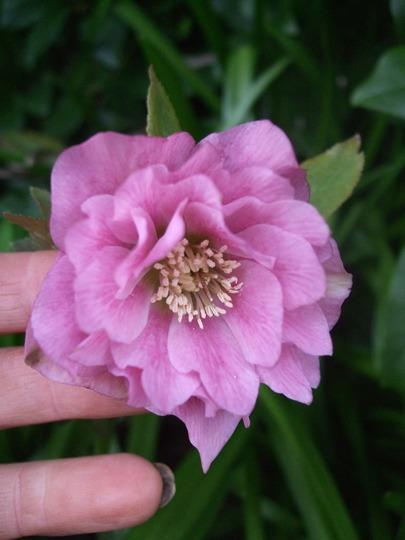 Last Hellebore to flower this year. (Helleborus orientalis (Lenten rose))