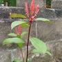 Photinia Red Robin (Photinia davidiana)