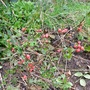 Texas Scarlet Quince (Chaenomeles japonica (Japonica))