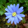 06.04.10 (Anemone blanda)