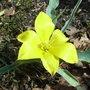 Tulipa kolpakowskiana - 2010 (Tulipa kolpakowskiana)