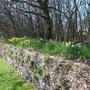 Daffs in Spring