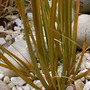Pleased to see this grass had made it through the winter. (Libertia peregrinans (New Zealand Iris))