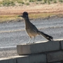 Roadrunner Out and About