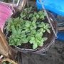Petunia Hanging Baskets