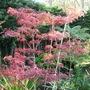 Acer 'Bloodgood' (Acer palmatum (Japanese maple) 'Bloodgood')