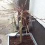 Salix_patio