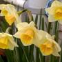 william wordsworths daffodils.