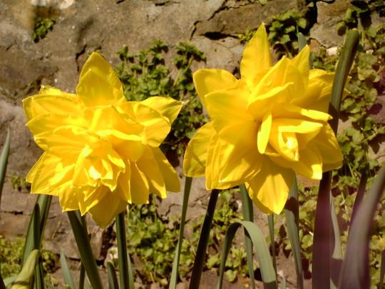 Two trumpetless daffodils