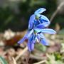 Scilla sibirica (Scilla sibirica)