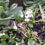 Viola odorata alba