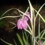Fritillaria meleagris (Snake Head)