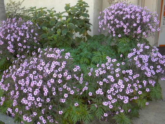 Geranium maderense - Madeira Geranium Blooming in Balboa Park, San Diego, CA. (Geranium maderense - Madeira Geranium)