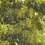 Bischofia javanica - Toog Tree Blooming in Balboa Park, San Diego, CA. (Bischofia javanica - Toog Tree)