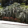 Butia capitata - Jelly Palms in Balboa Park, San Diego, CA.  (Butia capitata - Jelly Palm)