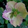 Christmas Rose over now, (Helleborus niger (Christmas rose))