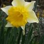 Narcissus 'Magnet' (Narcissus 'Magnet')