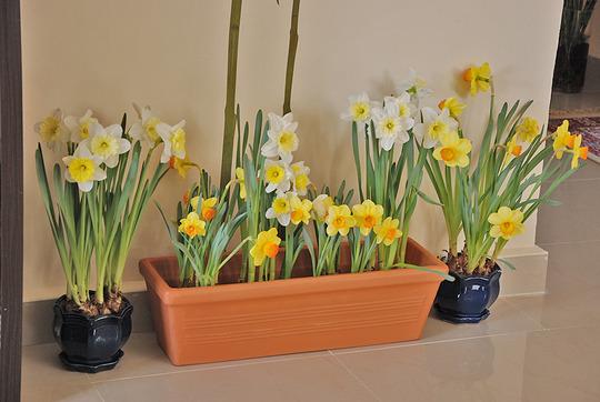 Daffodil Garden (Daffodil)
