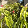Costus barbatus - Spiral Ginger (Costus barbatus - Spiral Ginger)
