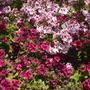 Pelargonium hybrids - Geranium (Pelargonium hybrid - Common Geranium)