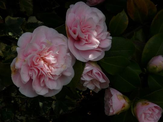 Mum's Camellia (Camellia japonica (Camellia))