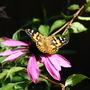 Echinacea purpurea (Echinacea purpurea (Coneflower))